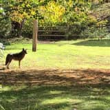 'Strange Coyotes' Spotted In Northern Westchester: Find Out When, Where