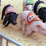 Pig Racing Banned In East Rutherford If 14,000 Have Their Way