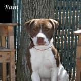 Hi Tor Animal Shelter Looks For Home For Pitbull Mix Named Bam