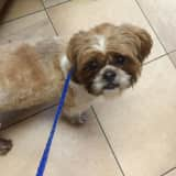 Lost Shih-Tzu Reunites With Owners In New Rochelle
