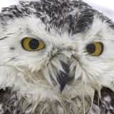 Snowy Owl Dies Days After Rescue In Stratford By Photographer