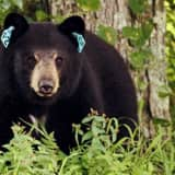 States: Fairfield County Livestock Owners, Bee Keepers Must Be Bear Aware