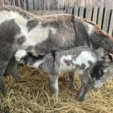 It's A Girl: Donkey Makes Special Delivery In Orange County
