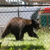 Black Bear Attacks Area Resident In Garage, Police Say