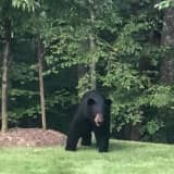 New Bear Sighting Reported: This One In Brewster