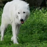 Atka, 'Most Magnificent Wolf' At Northern Westchester Conservation Center, Dies At 16