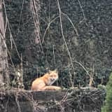 Mystery Surrounds Sighting: Is It A Fox Or Coyote Roaming Around Backyards?