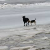Dogs Stuck In Icy Hudson River Rescued