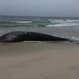 37-Foot Humpback Whale Found Dead On Beach In Hamptons