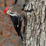 Pileated Woodpecker Spotted In Bedford