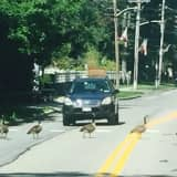 Geese Tie Up Traffic On Bedford Road In Armonk