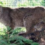 Bobcat Sighting In Yorktown Tops Week's News In Northern Westchester