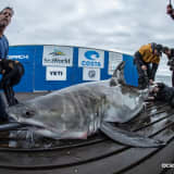 Where's 'Cabot'?: Great White Shark Spotted In Long Island Sound Heads Out East