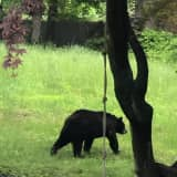 Black Bear Caught On Camera Making Rounds In Norwalk For Second Sighting In Area In Two Days