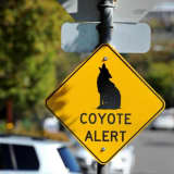 Coyote Wild: Here's Where Latest Sighting Was Reported In Westchester