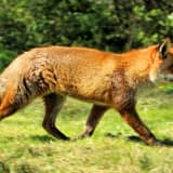 Fox Bites Three In Glen Ridge, Two Others Also Attacked