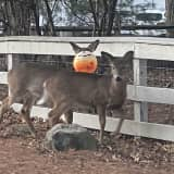 Deer With Plastic Pumpkin Stuck To Head Rescued In Upper Saddle River