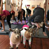 Adorable Goats Bring Zen To Ringwood Yoga Class