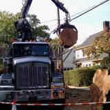 Worker Cut Diseased Oak Tree In Larchmont