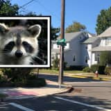 RACCOON RAMPAGE: Animal Attacks Maywood Residents