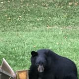 Bear Fact: Bring Bird Feeders Inside, Mount Kisco, As Bruins Make Return