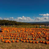 Where Do You Like To Go Pumpkin-Picking, Orange County?