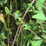 Invasive Mile-A-Minute Plant Removed From Area Near Trail In Monroe