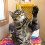 Mitts Is The SPCA Of Westchester's Pet Of The Week