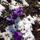 Signs Of Spring Can Be Seen In Lewisboro Despite The Snow
