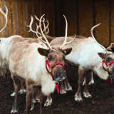 Bring On Winter With A Blast At Greenwich Reindeer Festival