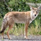 New Coyote Sighting In Northern Westchester: Find Out When, Where
