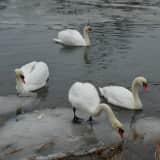 Swans Secure Safe Harbor In Bridgeport During Light Rain Shower