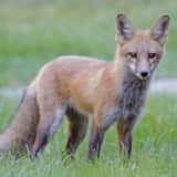 Warning Issued For Aggressive Fox At Large In Rhinebeck