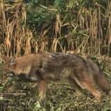 New Wild Coyote Sighting Reported In Westchester