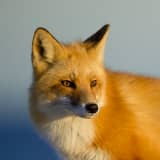 Rabid Fox Bit Jersey Shore Child, Maybe 2 Other Neighbors,  Health Officials Say
