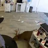 Video: Deer Crashes Through Window Of Hair Salon