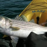 THROW 'EM BACK: Fishing Rule Bans Trophy Stripers In New Jersey