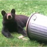 Brand-New Sighting: See Photo Of Bear Talking Trash In Northern Westchester