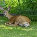 Rare Virus Killing Deer In Parts Of Region