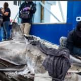 Great White Shark Swims Along Jersey Shore Coast