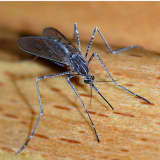 Mosquitoes From Fairfield County Test Positive For West Nile Virus