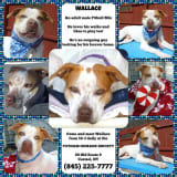 Dog Lovers Invited To Meet Wallace At Putnam Humane Society