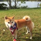 Shiba Inu Missing In New Rochelle