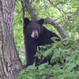 Wilton Man Accused Of Killing Black Bears Gets Probation