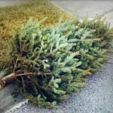 Ridgefield Boy Scout Troop Picks Up, Recycles Christmas Trees