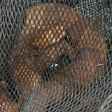 Copperhead Snake Found In Montclair Days After Paterson Man Bitten