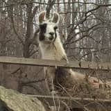 Llama Spotted At SunRaven In Bedford