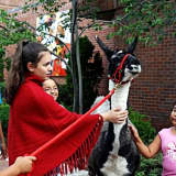 Love Llamas Up Close At Field Library Thursday