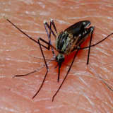 Mosquitoes Test Positive For Serious But Rare EEE Virus In Berkeley Heights