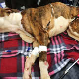 Westchester Woman Arrested For Leaving Starving Dog To Die